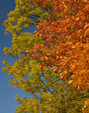 Beautiful colors of autumn leaves Royalty Free Stock Images