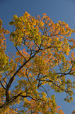 Beautiful colors of autumn leaves Stock Photography