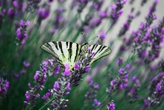 the beautiful colors of a beautiful butterfly in the spring that settles on purple flowers to collect the pollen stock photography