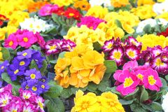 Blooming Petunias, spring in the flower market,Holland Royalty Free Stock Photography