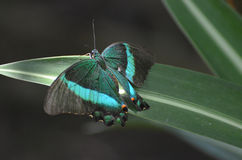 Beautiful Colors on this Emerald Swallowtail Butterfly royalty free stock photo