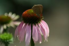 Autumn flowers in gardens, Echinacea Purpurea. Beautiful colors of garden flowers and more. Living in harmony with nature Royalty Free Stock Image