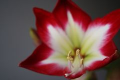 Flowers in gardens, Amaryllis Tres Chic. Beautiful colors of garden flowers and more. Living in harmony with nature Stock Images