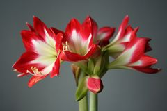 Flowers in gardens, Amaryllis Tres Chic. Beautiful colors of garden flowers and more. Living in harmony with nature Royalty Free Stock Photo