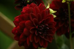 Flowers in gardens, Dahlia Arabian Night. Beautiful colors of garden flowers and more. Living in harmony with nature Royalty Free Stock Images