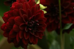 Flowers in gardens, Dahlia Arabian Night. Beautiful colors of garden flowers and more. Living in harmony with nature Royalty Free Stock Photo