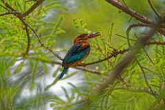 Beautiful colors of a kingfisher. A vibrant kingfisher sitting on a branch Stock Photo