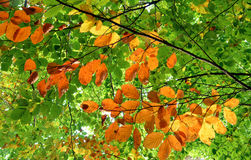 Beautiful colors of leaves Royalty Free Stock Photo