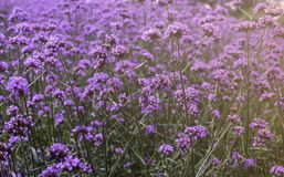 Free Beautiful Colors Of Fresh Purple Flowers  Blossom, Violet Lavender Fields Background Royalty Free Stock Image - 160719976