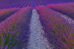 Beautiful colors purple lavender fields near Valensole, Provence Stock Photo