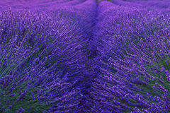 Beautiful colors purple lavender fields near Valensole, Provence Stock Photos