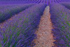 Beautiful colors purple lavender fields near Valensole, Provence Royalty Free Stock Photos