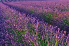 Beautiful colors purple lavender fields near Valensole, Provence. In France Royalty Free Stock Photo