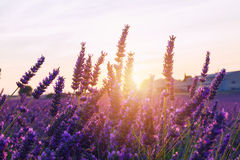 Beautiful colors purple lavender fields near Valensole, Provence Royalty Free Stock Photography