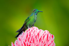 Beautiful colour scene from nature. Green-crowned Brilliant hummingbird, Heliodoxa jacula, near pink bloom with pink flower backgr Stock Image
