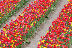 Beautiful coloured tulips in the Netherlands Stock Photo
