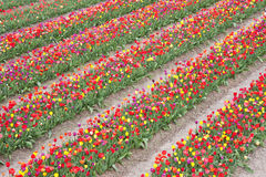 Beautiful coloured tulips in the Netherlands Stock Image