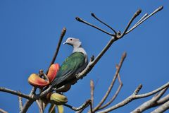 Beautiful and colourful pigeon on a tree in Indonesia. Green and grey pigeon on the blue backgraound, wild birds in indonesia stock image