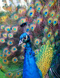 Beautiful colourful preening p Royalty Free Stock Photos