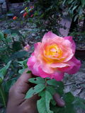 BEAUTIFUL AND COLOURFUL ROSE. A beautifull rose on my hand Stock Photos