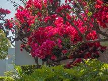 Beautiful colourfull blossom flowers in Greek Island stock photo