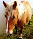 Beautiful colt. Not yet broken but wanting human company Stock Photos