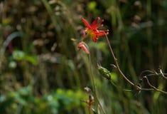 Beautiful columbine flower lit by sun in meadow. Nuchatlitz Inlet, British Columbia stock photos