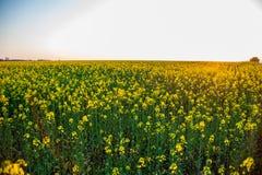 Beautiful colza field at sunset Stock Photo