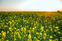 Beautiful colza field at sunset Stock Images
