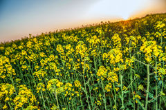 Beautiful colza field at sunset Royalty Free Stock Photos