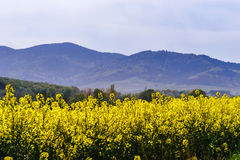 Beautiful colza flowering, yellow field of rape Stock Images