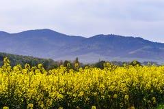 Beautiful colza flowering, yellow field of rape Royalty Free Stock Photos