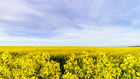 Beautiful colza flowering, yellow field of rape Royalty Free Stock Photography