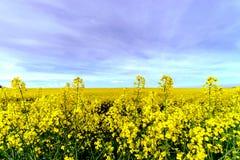 Beautiful colza flowering, yellow field of rape Stock Photography