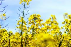 Beautiful colza flowering, yellow field of rape Royalty Free Stock Image