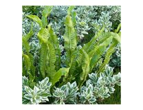 A beautiful combination of Hart`s-tongue fern Asplenium scolopendrium and Parennials shrub stock photography