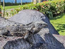 Beautiful iguana enjoying the sun on a stone with a green background stock image