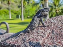 Iguana enjoying the sun on a stone with green vegetation background. A beautiful combination of an iguana, a rock and wonderful green vegetation in Puerto stock photography