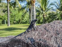 Beautiful iguana sunbathing on a stone with palm trees background royalty free stock photos