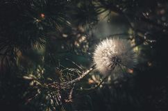 White full flower large dandelion among pine branches. Sun lighting from behind. royalty free stock photography