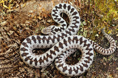 Beautiful common adder male Royalty Free Stock Images