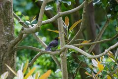 A beautiful common blackbird sitting in the tree in a park of London. royalty free stock images