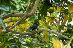 A beautiful common blackbird sitting in the tree in a park of London. royalty free stock photos