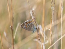 The common blue butterfly Polyommatus icarus female sitting on a dry grass. Beautiful common blue butterfly Polyommatus icarus female sitting and resting on a stock photography