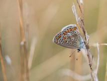 The common blue butterfly Polyommatus icarus female sitting on a dry grass. Beautiful common blue butterfly Polyommatus icarus female sitting and resting on a stock image