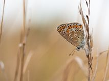 The common blue butterfly Polyommatus icarus female sitting on a dry grass. Beautiful common blue butterfly Polyommatus icarus female sitting and resting on a royalty free stock photography