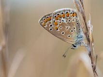 The common blue butterfly Polyommatus icarus female sitting on a dry grass. Beautiful common blue butterfly Polyommatus icarus female sitting and resting on a royalty free stock images