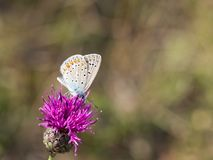 The common blue butterfly Polyommatus icarus male sitting on a flower. Beautiful common blue butterfly Polyommatus icarus male sitting and resting on a pink royalty free stock image