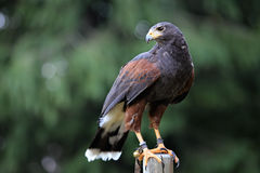 Beautiful common buzzard Royalty Free Stock Photo
