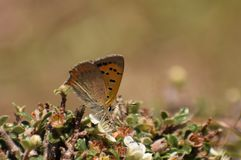 Beautiful common copper  lycaena phlaeas butterfly. royalty free stock photography